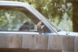 Bullock's oriole perched on side mirror of car