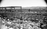 Sheep and cattle corral at Cody Stockyards