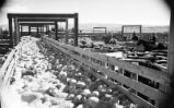 Sheep and cattle corral in Cody Stockyards